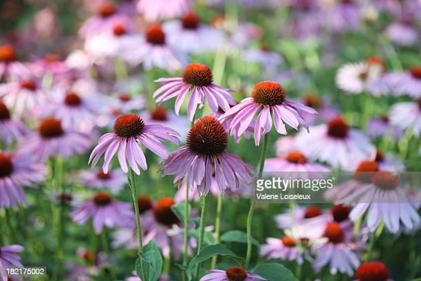 Purple Sonnenhut-Pflanzengattung