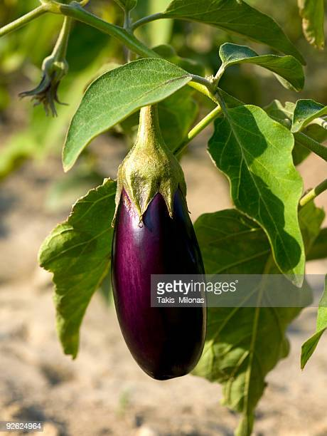 a purple eggplant still on its vine - eggplant stock photos and pictures