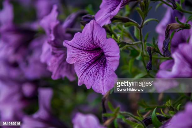 purple everywhere - conor stock pictures, royalty-free photos & images