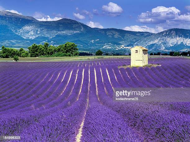 Purple fields in France with mountains behind