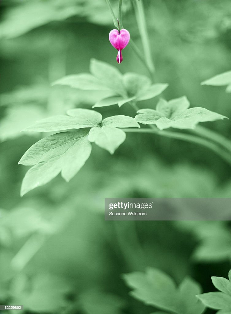 Purple flower and green leaves. : Stock Photo
