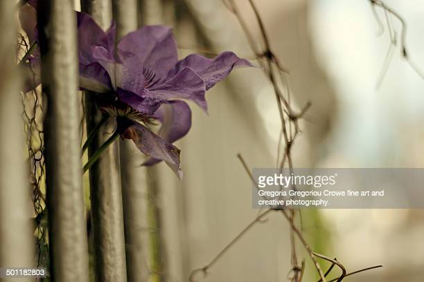 purple flower and rail fence - gregoria gregoriou crowe fine art and creative photography stock-fotos und bilder