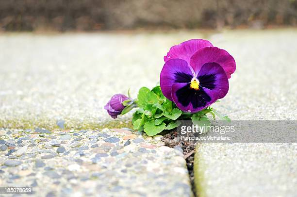 purple flower growing in crack of cement - endurance stock photos and pictures