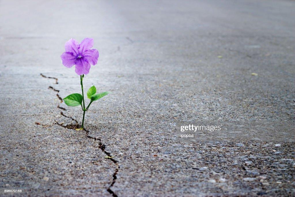 Purple flower growing on crack street, soft focus, blank text : Stock Photo