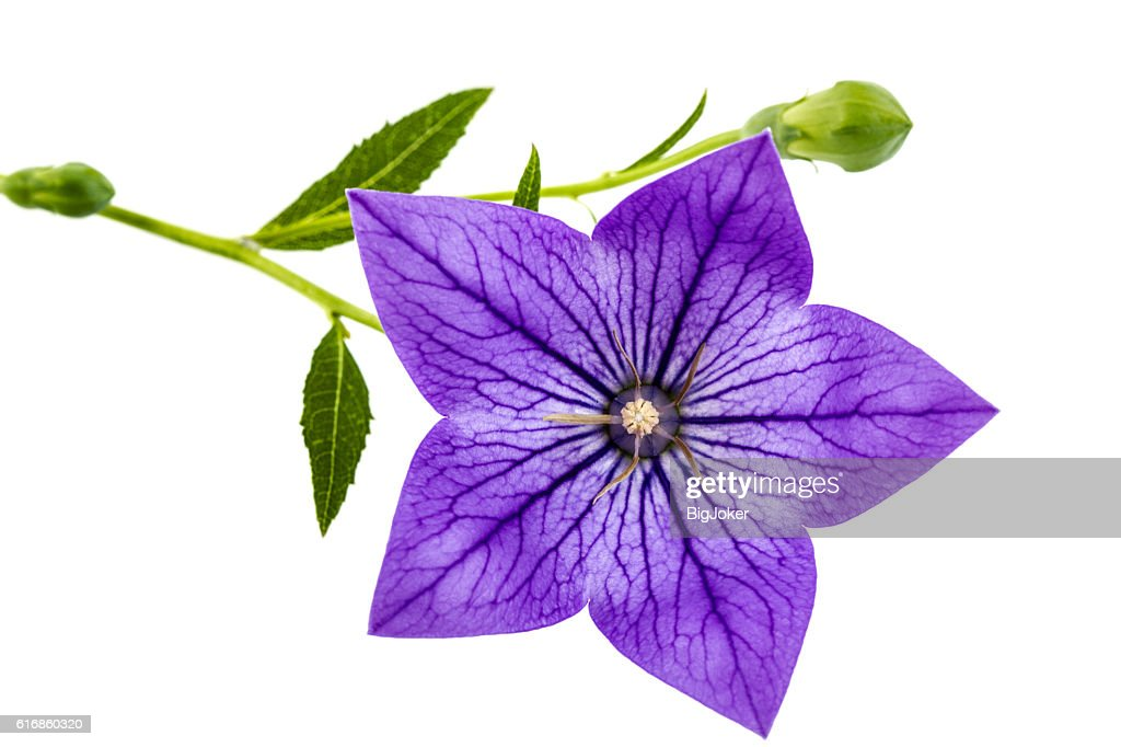 Purple flower of Platycodon (Platycodon grandiflorus) or bellflo : Stock Photo