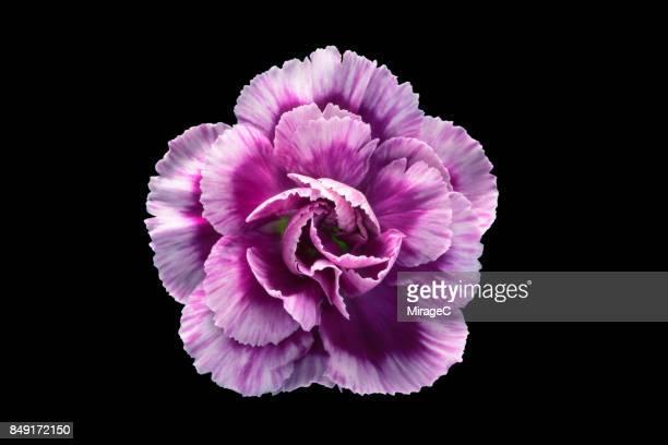 purple flower on black background - enkele bloem stockfoto's en -beelden