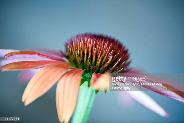 purple flower - vanessa van ryzin stockfoto's en -beelden