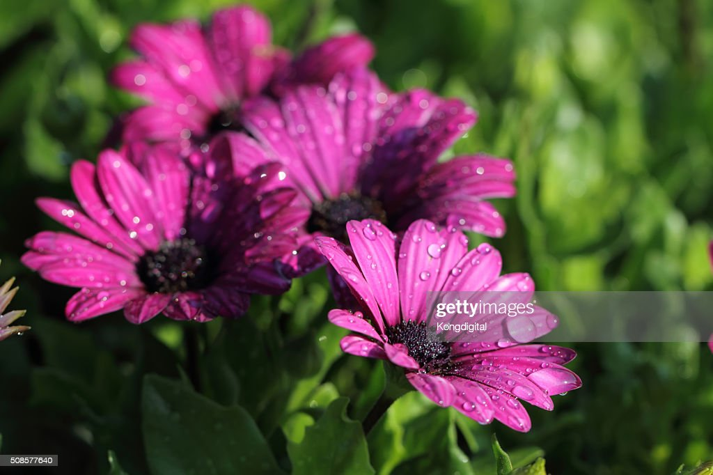 purple flower : Stock Photo