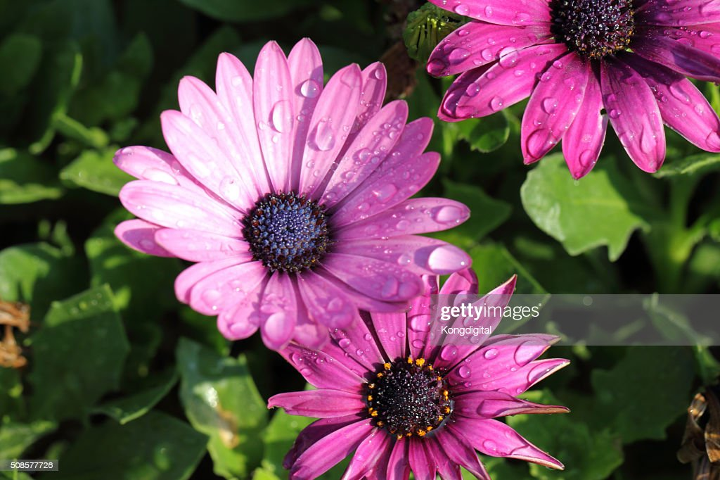 purple flower : Stockfoto