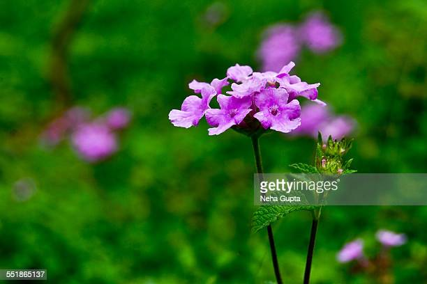 purple flower - neha gupta stock pictures, royalty-free photos & images