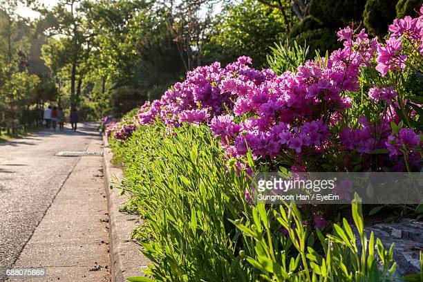 purple flowering bush - bucheon stock pictures, royalty-free photos & images