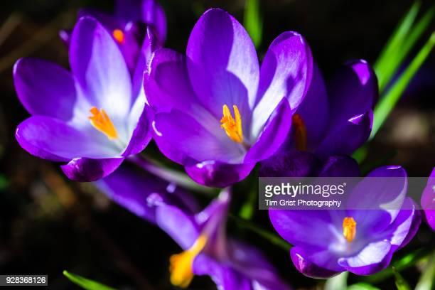 Purple Flowering Crocus