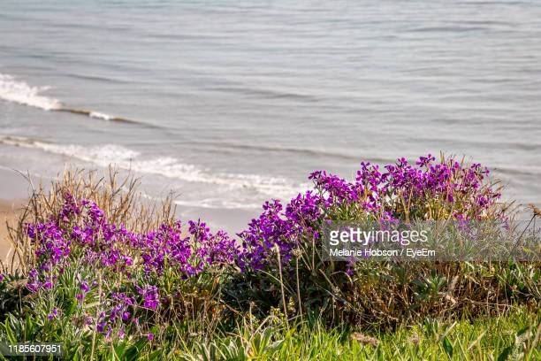 purple flowering plants at beach - compton bay isle of wight stock pictures, royalty-free photos & images