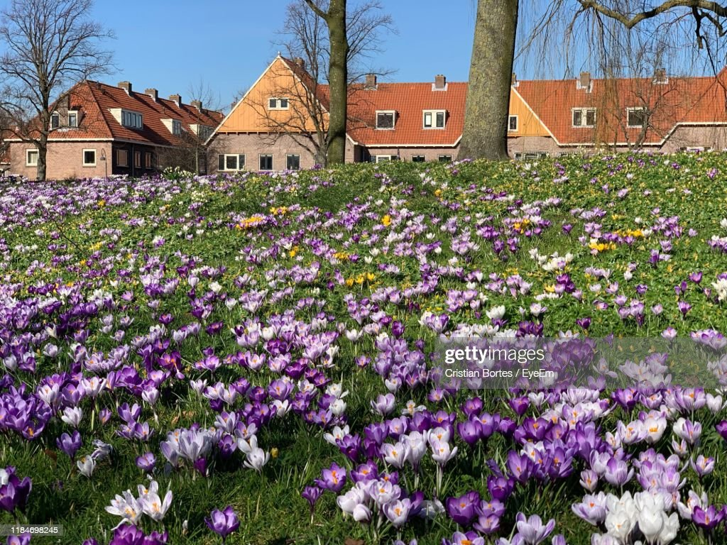 Purple Flowering Plants By Building : Stock Photo