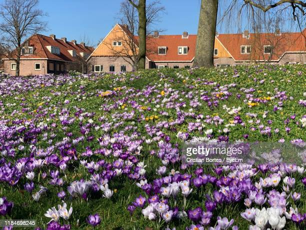 purple flowering plants by building - bortes stock photos and pictures