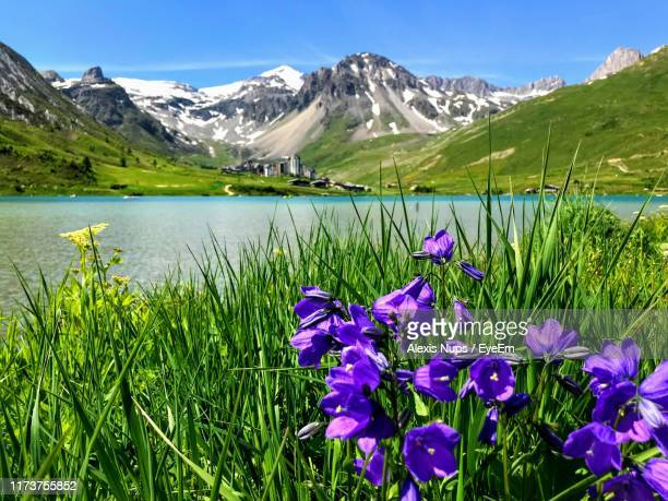 purple flowering plants by lake against mountains - savoie stock pictures, royalty-free photos & images