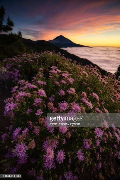 purple flowering plants by sea against sky during sunset - el teide national park stock pictures, royalty-free photos & images