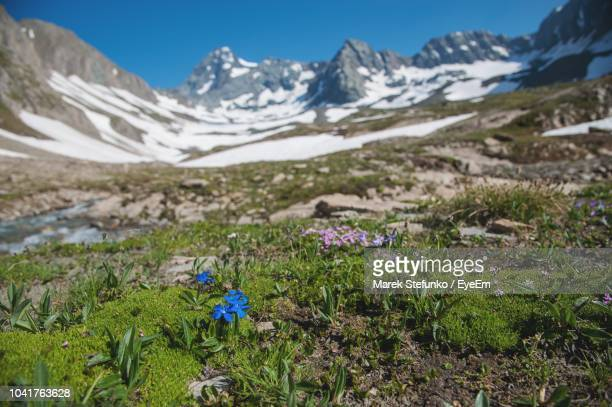 purple flowering plants on field against mountains - marek stefunko stockfoto's en -beelden