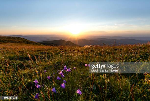 purple flowering plants on field against sky during sunset - babia góra mountain stock pictures, royalty-free photos & images