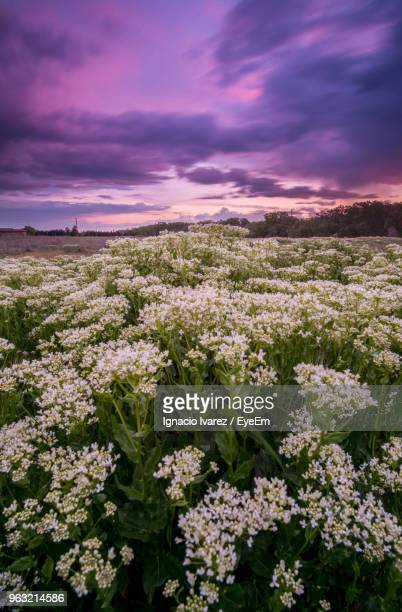 purple flowering plants on field against sky during sunset - castilla leon fotografías e imágenes de stock