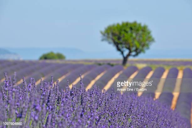 purple flowering plants on field against sky - plateau de valensole stock photos and pictures