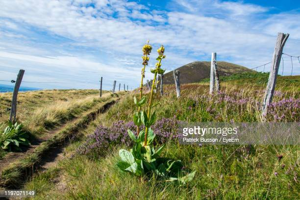 purple flowering plants on field against sky - auvergne rhône alpes stock pictures, royalty-free photos & images
