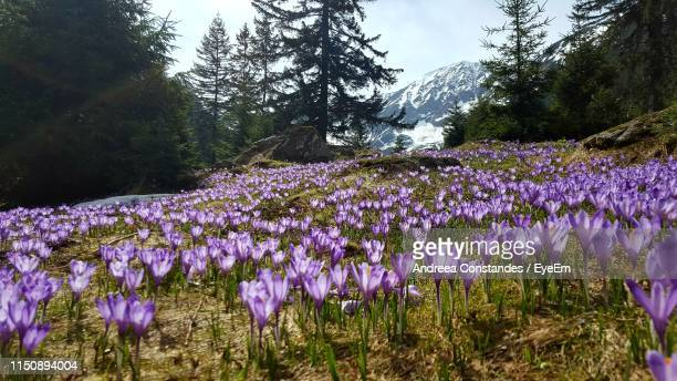 purple flowering plants on field - transylvania stock pictures, royalty-free photos & images