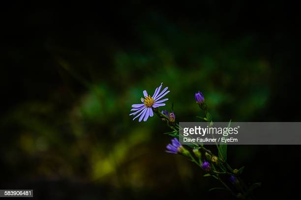 purple flowering plants on field - dave faulkner eye em stock pictures, royalty-free photos & images
