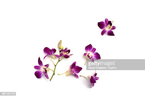 purple flowers against white background - blütenblatt stock-fotos und bilder