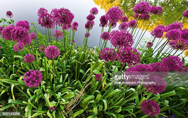 Purple Flowers - Allium
