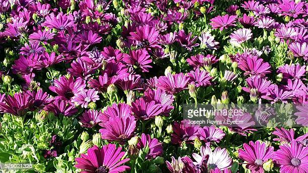 Purple Flowers And Buds Growing On Field