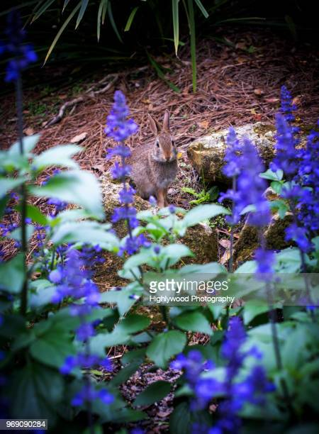 purple flowers and... bunny! - highlywood stock photos and pictures