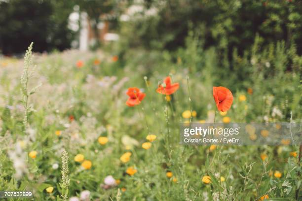 purple flowers blooming in field - bortes stock photos and pictures