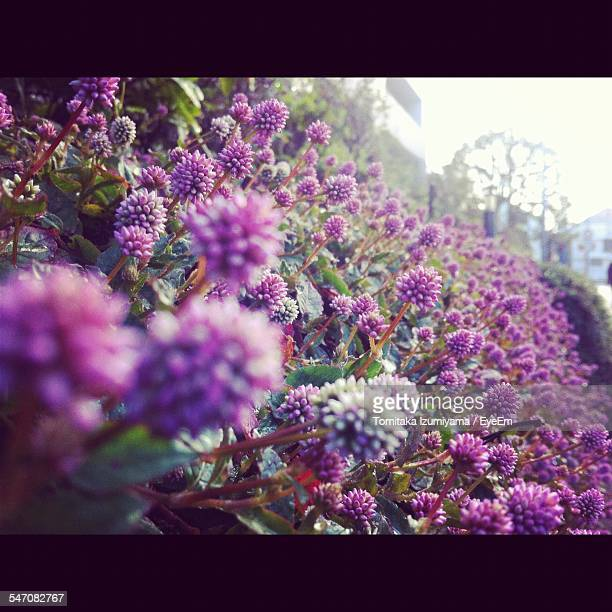Purple Flowers Blooming Outdoors