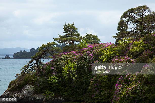 Purple Flowers Blossoming On A Cliff On The Coastline; Glengarriff County Cork Ireland