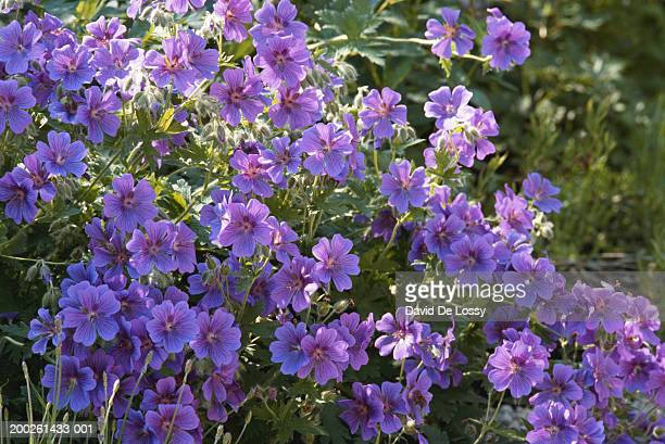 Purple flowers, close-up, elevated view