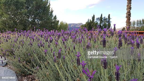purple flowers growing in field - campbell downie stock pictures, royalty-free photos & images