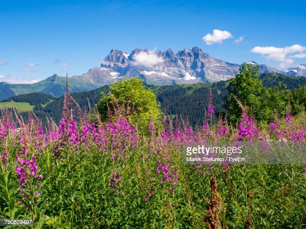purple flowers growing in mountains - marek stefunko stock photos and pictures