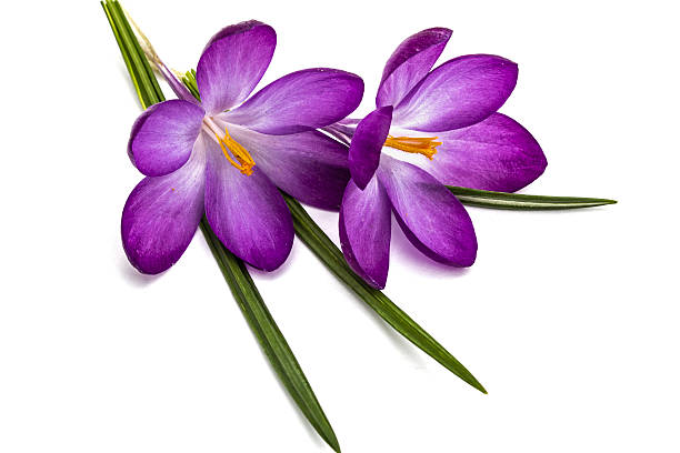 Free yellow flower white background stock photos and royalty free purple flowers of crocus isolated on white background mightylinksfo