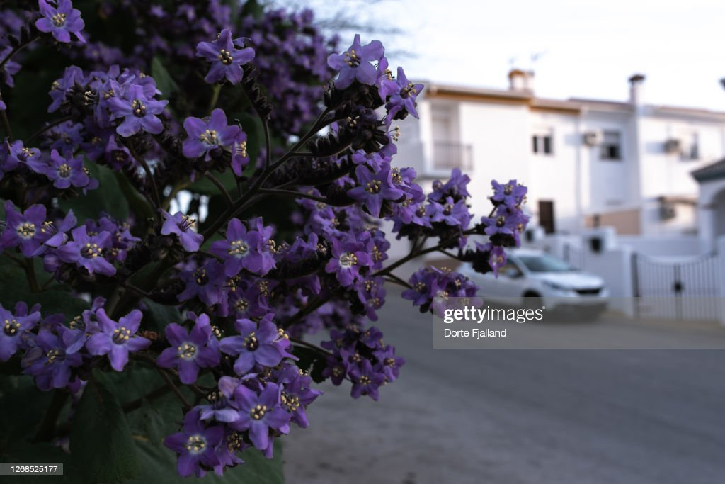 Purple flowers on a bush with a residential street with white houses and a white car in the background : Foto de stock