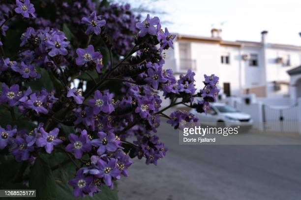 purple flowers on a bush with a residential street with white houses and a white car in the background - dorte fjalland fotografías e imágenes de stock