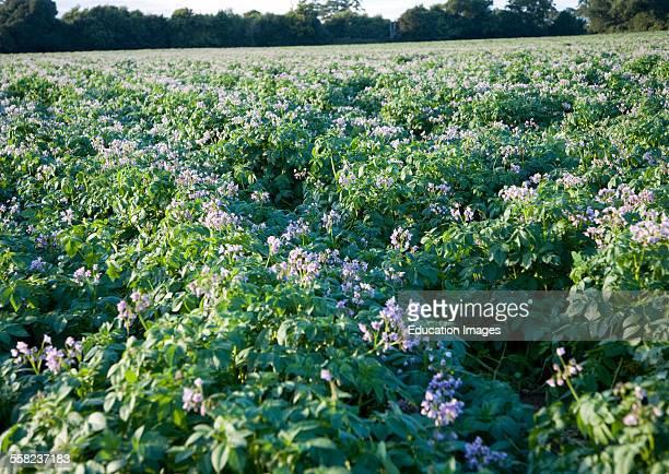 Purple Flowers Potato Crop Growing Field Shottisham Suffolk