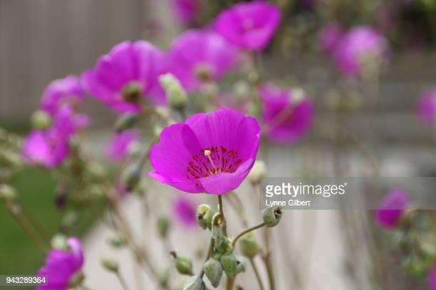 Long stem purple flowers stock photos and pictures getty images purple flowers with long stems in a garden mightylinksfo
