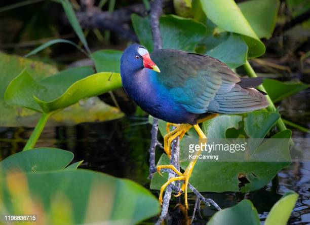 purple gallinule perched over a swamp in florida's everglades - anhinga_trail stock pictures, royalty-free photos & images