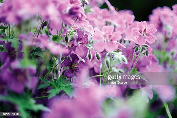 Purple geraniums