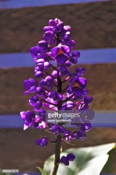 purple ginger flower photographic abstraction. - fiore di zenzero foto e immagini stock