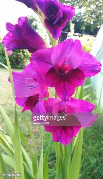 purple gladiolus flower - グラジオラス ストックフォトと画像