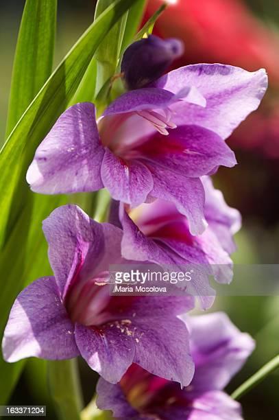 purple gladiolus flower spike - グラジオラス ストックフォトと画像