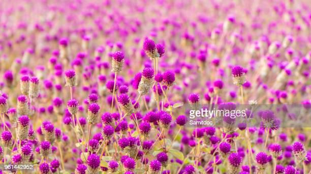 Purple Globe Amaranth flower blooming in the garden. South Korea