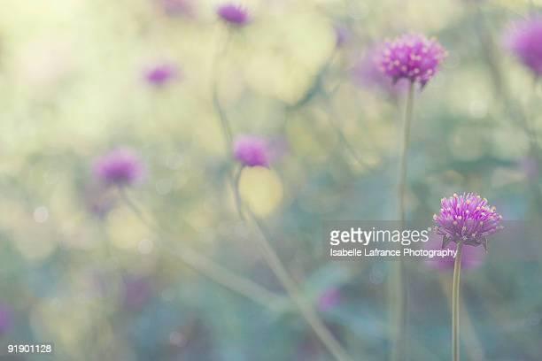 Purple Globe Amaranth flowers